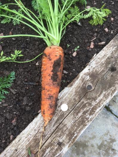 Massive carrots